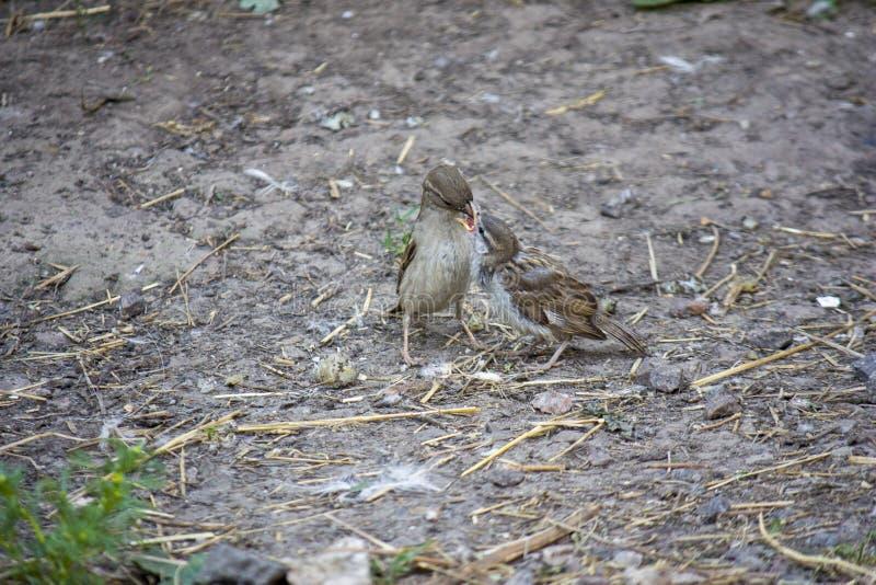 Sparvfågeln matar dess hungriga fågelunge på jord arkivbild
