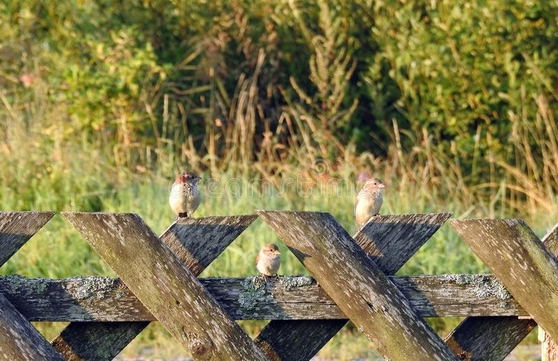 Sparvfåglar på trästaketet, Litauen royaltyfri bild
