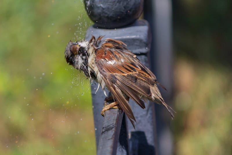 Sparvsammanträde på ett staket skakar av, når det har badat i en pöl royaltyfri bild