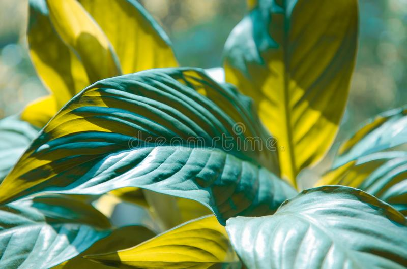 Spathiphyllum或和平百合大叶子  库存图片