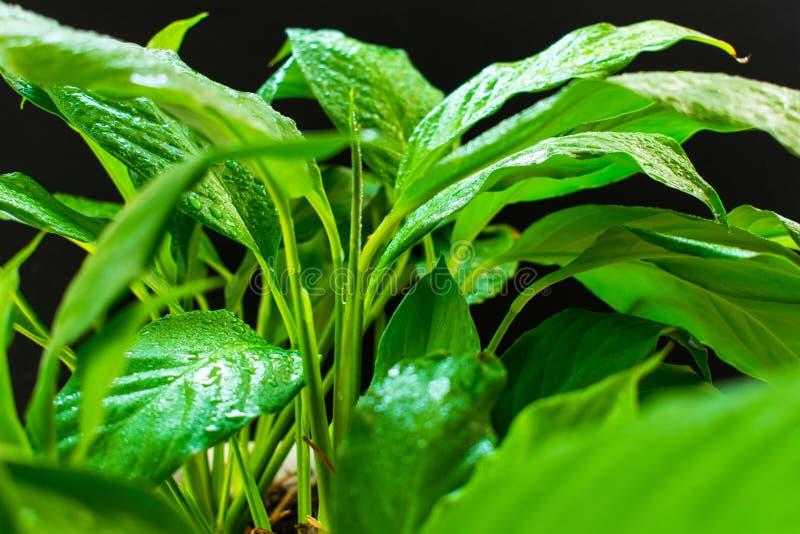 Spathiphyllum, πράσινα φύλλα με τη δροσιά σε ένα μαύρο υπόβαθρο στοκ εικόνα με δικαίωμα ελεύθερης χρήσης