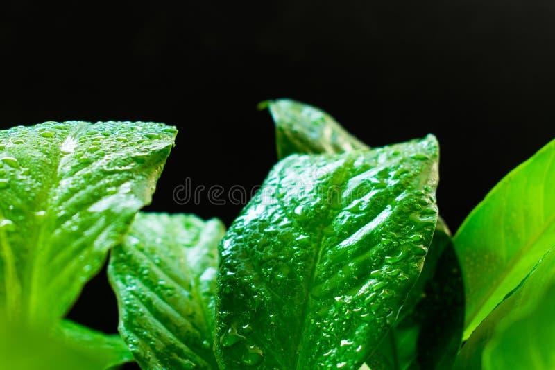 Spathiphyllum, πράσινα φύλλα με τη δροσιά σε ένα μαύρο υπόβαθρο στοκ εικόνα