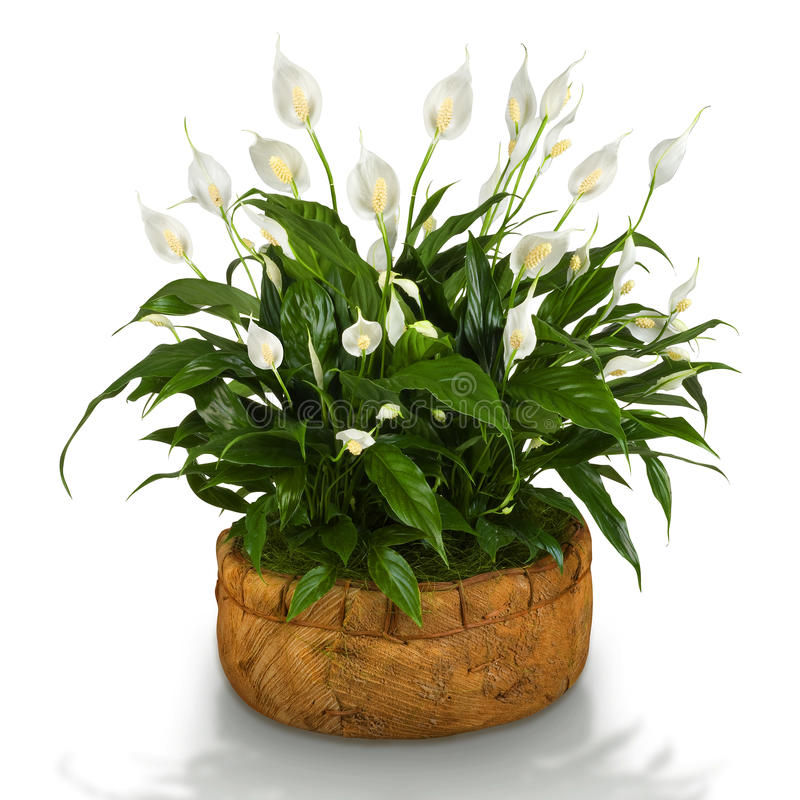 Spathiphyllum photos stock