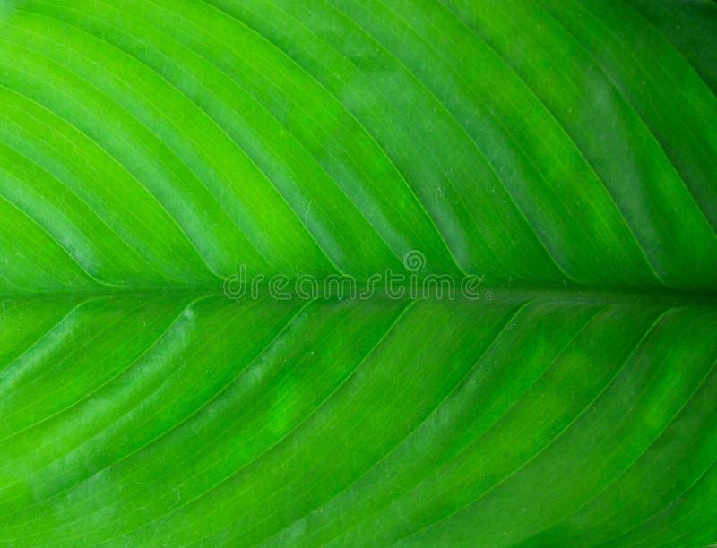 Spathiphyllum zdjęcia stock