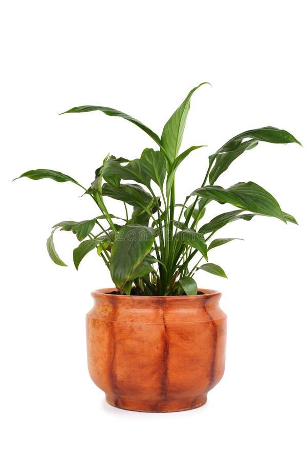 Spathiphyllum Chopin del Houseplant in flowerpot fotografie stock libere da diritti