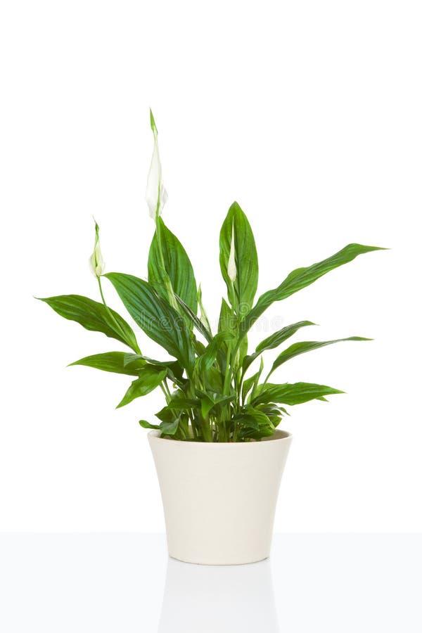 Spathiphyllum flower plant. On white royalty free stock photos