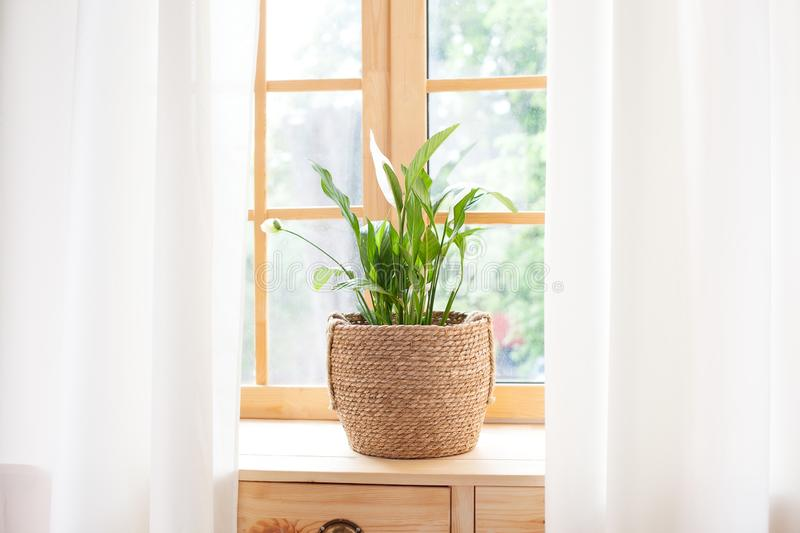 Spathiphyllum home plant in straw pot stands on a windowsill. Home plants on the windowsill. concept of home gardening. Spathiphyl. Lum stock images