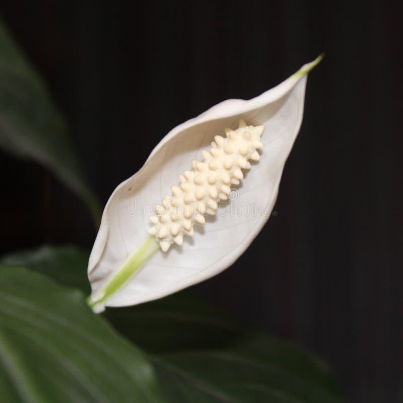 Spathiphyllum obrazy stock