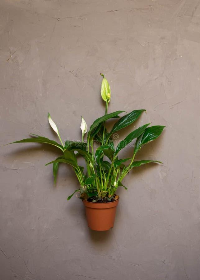 Spathiphyllum kwiat w brązu garnku, ciemny textured tło z kopii przestrzenią, obraz royalty free