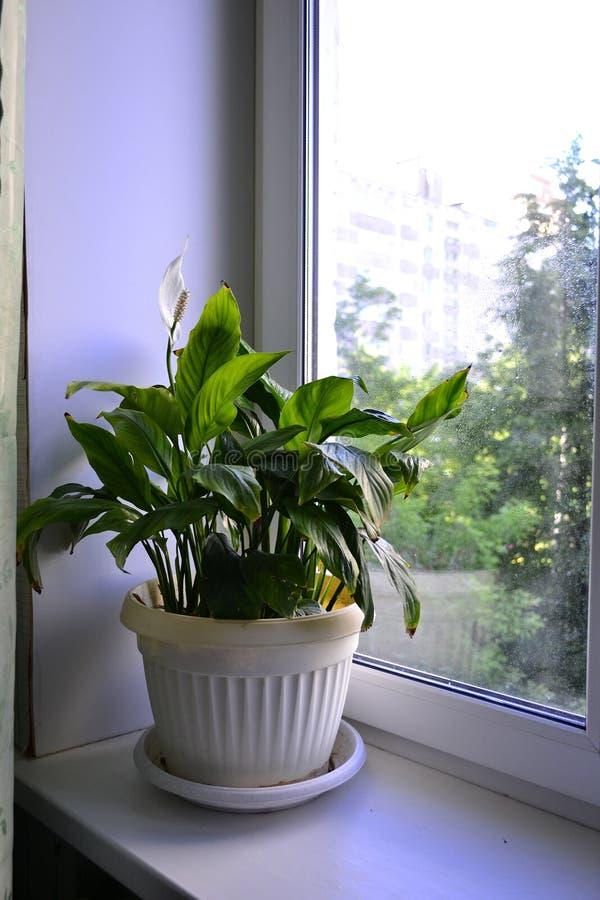 Spathiphyllum na windowsill fotografia royalty free