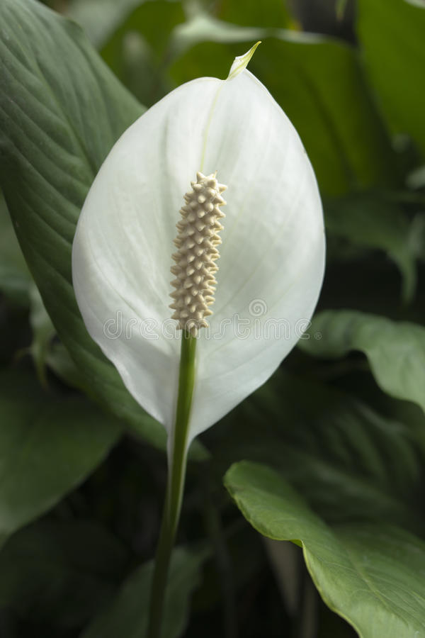 Spathiphyllum (Peace Lily) stock photo