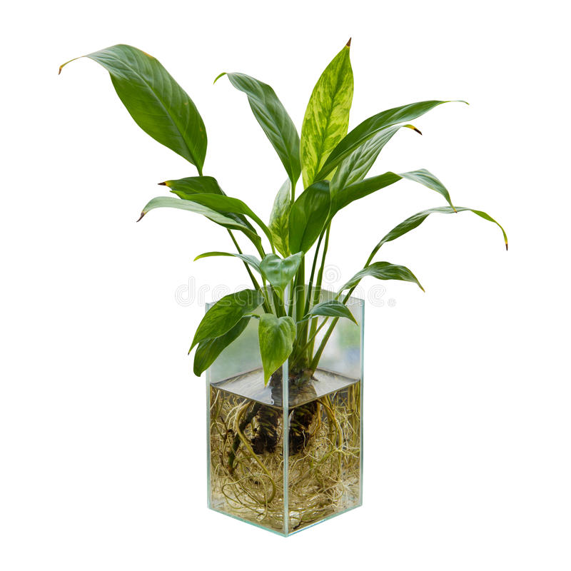 Spathiphyllum or Peace Lily. In the glass vase royalty free stock image
