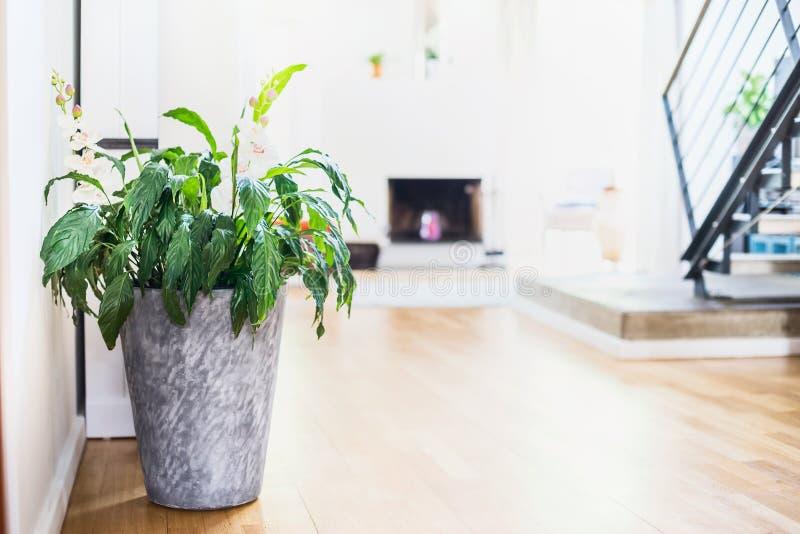Spathiphyllum växt i behållare på rumbakgrund Grön inomhus husväxt i kruka royaltyfri bild