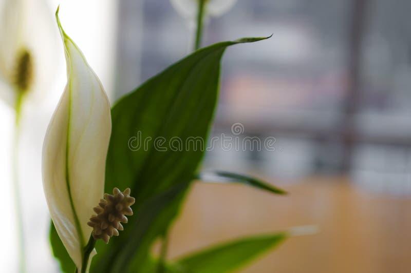 Spathiphyllum-wallisii Ernte zu Hause stockfotografie