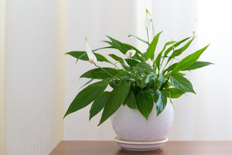 Spathiphyllum in witte pot in binnenland stock afbeelding