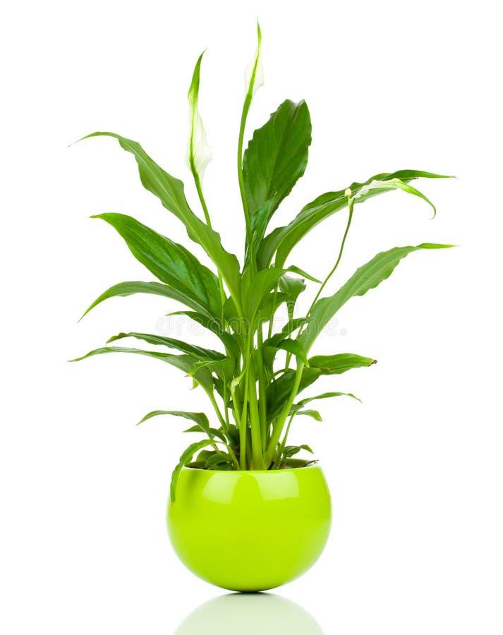 Spathiphyllumbloem royalty-vrije stock foto's
