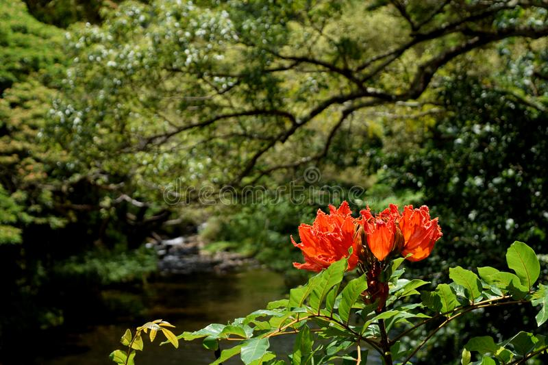 African Tulip Tree flower in Kauai Hawaii jungle background stock image