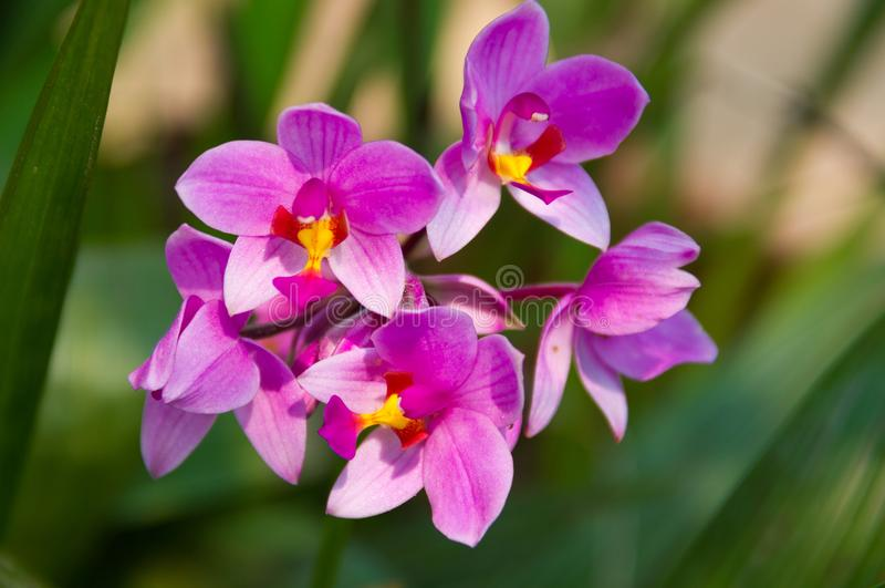 Spathoglottis plicata Blume, jordorkidé arkivfoto