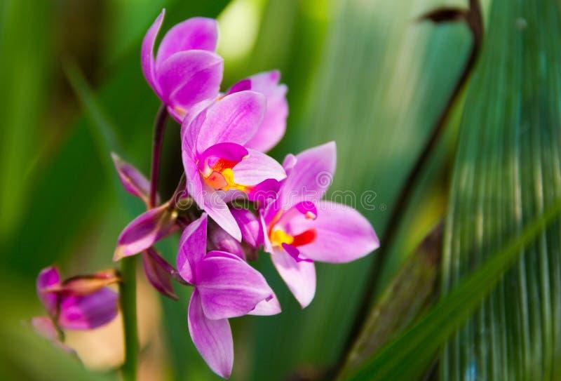 Spathoglottis plicata Blume, jordorkidé royaltyfri bild
