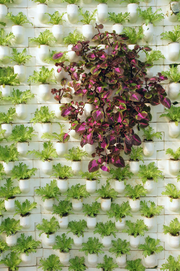 Spatial planting. The Persian Shield(Scientific name:Perilepta dyeriana) in green lettuces stock image