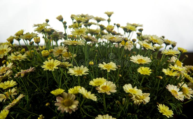 Spatial vision of retro-lit daisies. Bunch with clear horizont stock photography