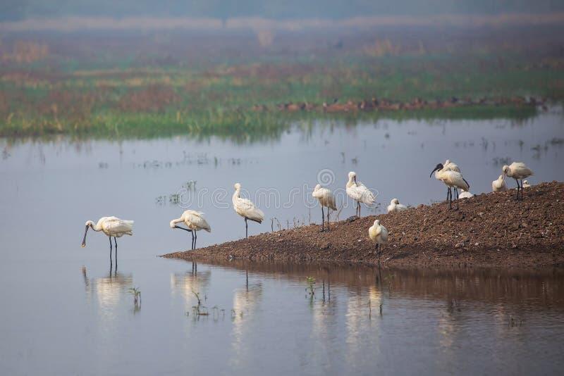 Spatole euroasiatiche che stanno in un lago in Keoladeo Ghana Nationa immagini stock libere da diritti