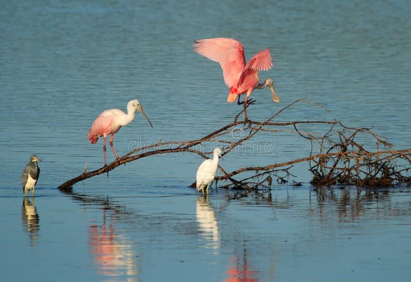Spatole rosee a Ding Darling National Wildlife Refuge fotografie stock libere da diritti