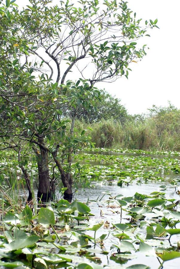 Spatterdock, der um Zypressenbäume auf der Oberfläche im Everglades-Nationalpark wächst lizenzfreie stockfotografie