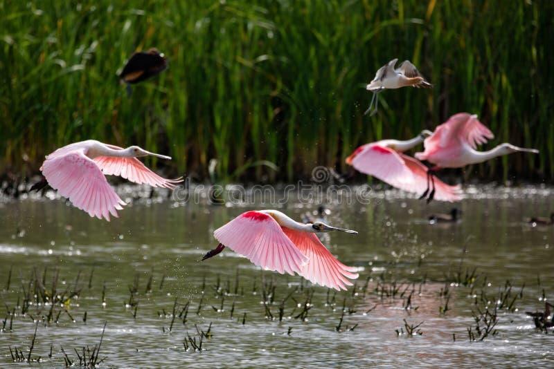 Spatule rose en vol photos libres de droits