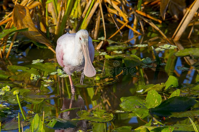 Spatule rose juvénile dans des couleurs fanées pataugeant dans un étang photo libre de droits
