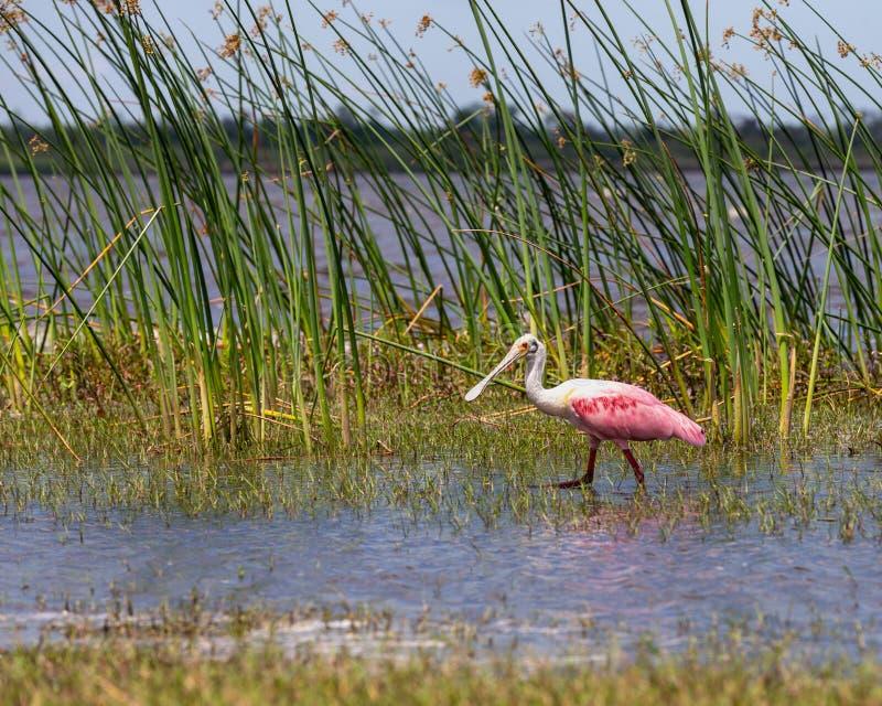 Spatule rose sur le rivage de la Floride images libres de droits