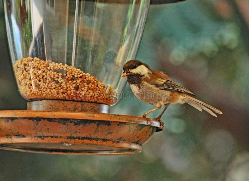 Spatz auf der Vogel-Zufuhr stockfoto