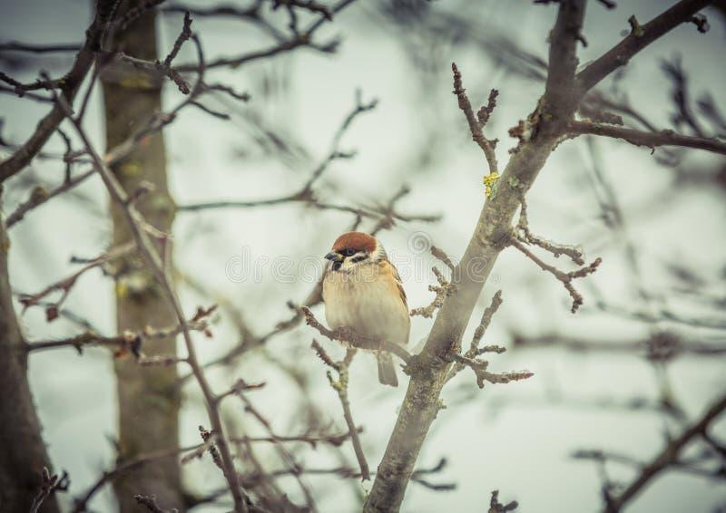 Spatz auf einem Baum im Winter lizenzfreies stockfoto