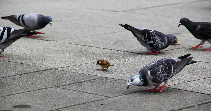Spatz und Tauben stockbilder