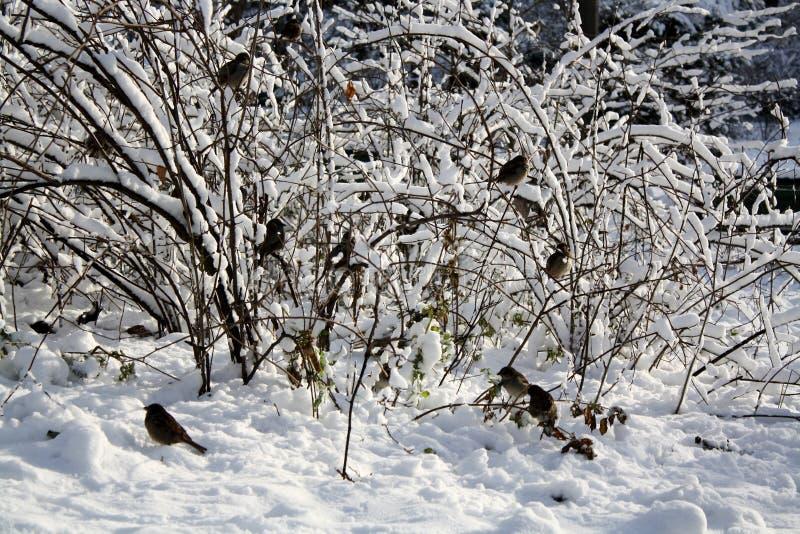 Spatzen auf einem schneebedeckten Busch lizenzfreies stockfoto