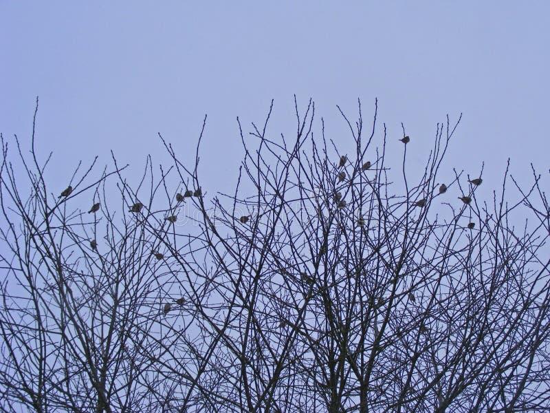 Spatzen auf weißer schneebedeckter Niederlassung Winterstraßenschnee Fliegenvogelspatz frei Freien des verschneiten Winters Freie stockfotos