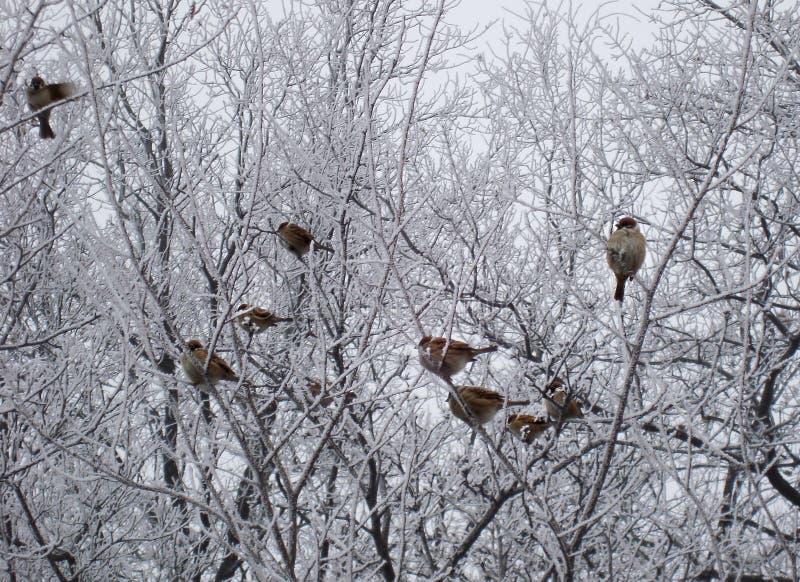 Spatzen, die an gefrorener Niederlassung sitzen stockfotos