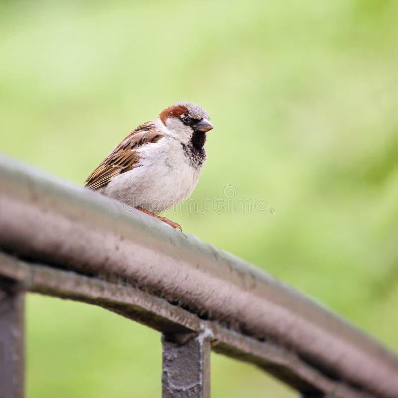Spatzen-Vogel-Passant domesticus auf Brücken-Schiene, große ausführliche Nahaufnahme, leichtes Bokeh lizenzfreie stockbilder