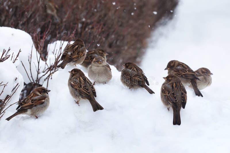 Spatzenvögel, die auf einem Schnee im Park sitzen Weicher Fokus lizenzfreie stockfotos