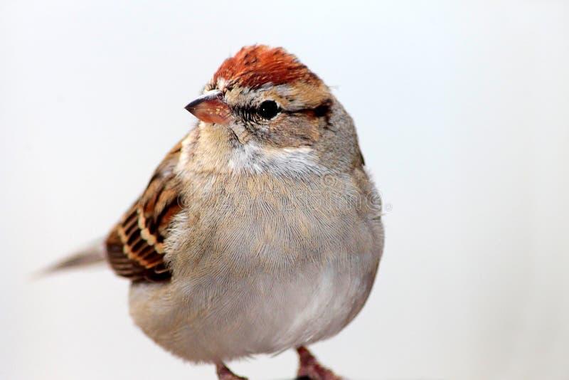 Spatzenvogel lizenzfreie stockfotos