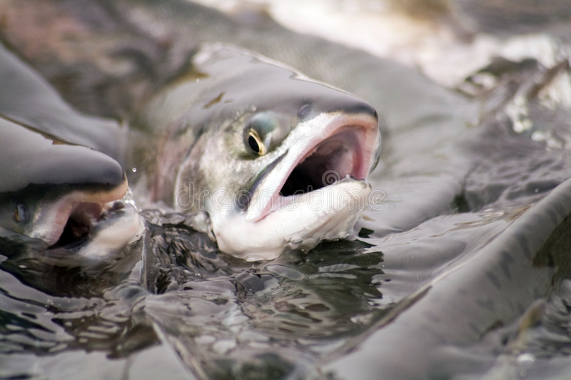 Spawning salmon. Salmon goes on spawning in river of the kamchatka