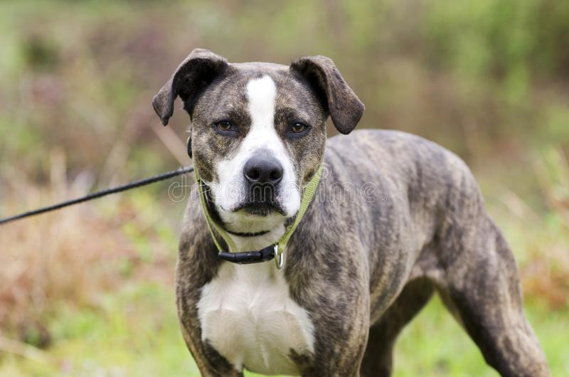 Brindle and white American Pitbull Terrier dog with green collar on leash royalty free stock image