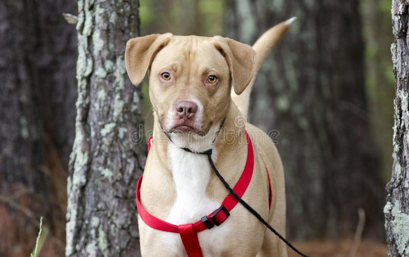 Happy Lab American Bulldog mixed breed dog with red harness, pet adoption photography. Spayed and microchipped female tan and white Labrador and Boxer American stock image