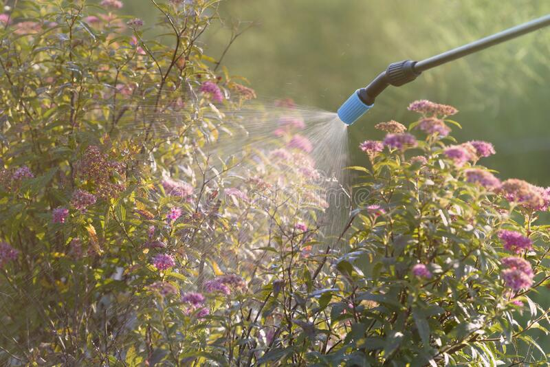 Spaying flowers with water or pesticides stock image