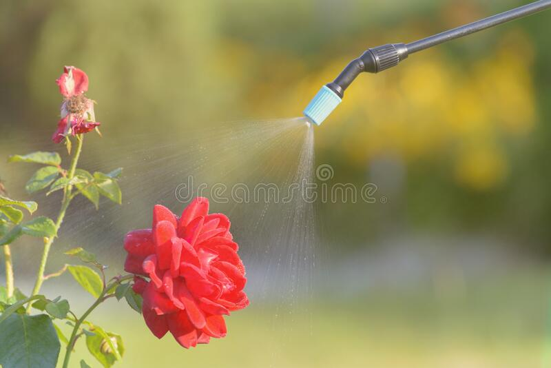 Spaying flowers with water or pesticides stock images