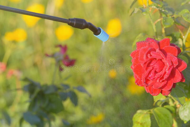 Spaying flowers with water or pesticides royalty free stock images