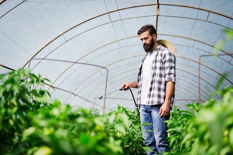 Spaying warzywa z wody lub rośliny ochrony produktami tak jak pestycydy przeciw chorobom obrazy stock