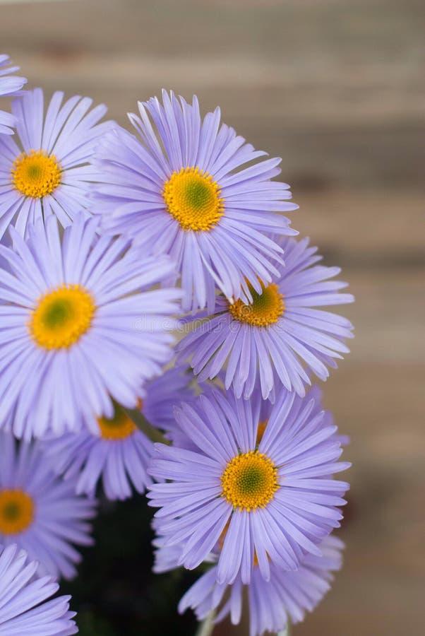 Spazio di legno rustico della copia del fondo del mazzo di Violet Purple Daisy Chrysanthemum Chamomile fotografia stock