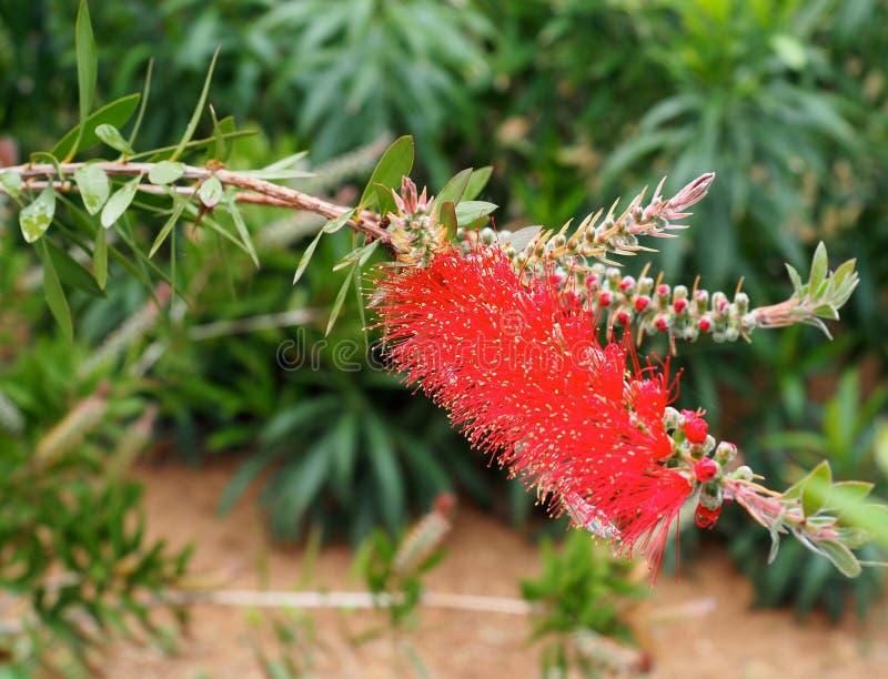 Spazzola di bottiglia o Callistemon Citrinus in fioritura in Creta immagini stock
