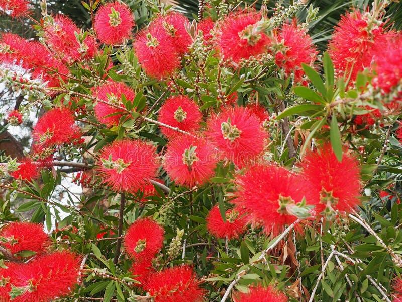 Spazzola di bottiglia o Callistemon Citrinus in fioritura in Creta fotografia stock libera da diritti